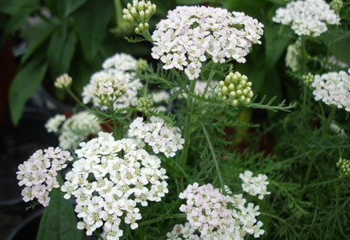 White clusters of yarrow flowers.