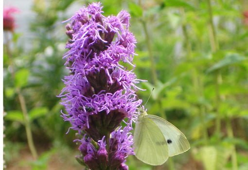Purple blazing star flower with green butterfly on it.