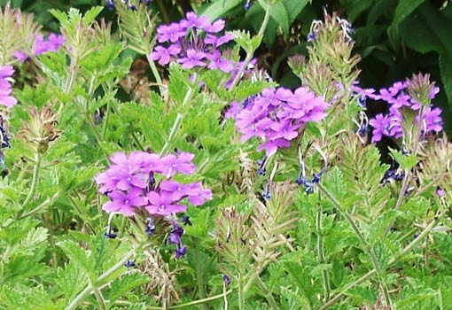 Verbena flowers in shades of purple and blue.