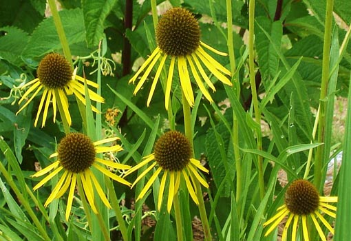 Yellow coneflower blooms.