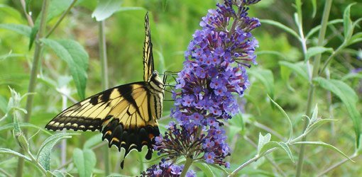 Swallowtail butterfly on blue flower.