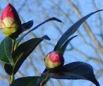 Camellia buds about to bloom.