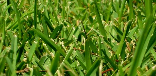 How To Spread St Augustine Grass Today S Homeowner