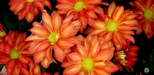 How To Grow Chrysanthemums In Your Garden Today S Homeowner