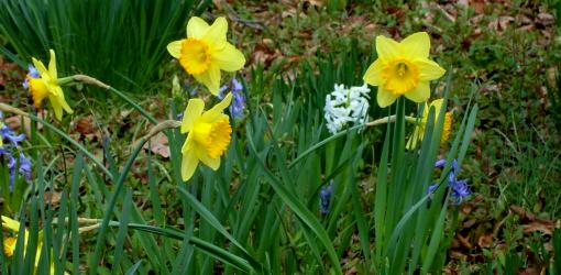 Daffodil and Hyacinth flowers blooming.