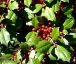 Holly bush with red berries.