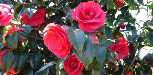 How To Grow Camellias Today S Homeowner
