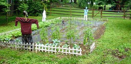Vegetable Garden With Scarecrow