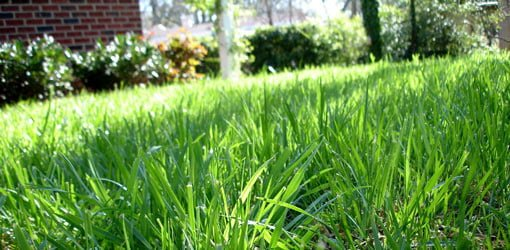 When And How To Fertilize Centipede Grass Today S Homeowner