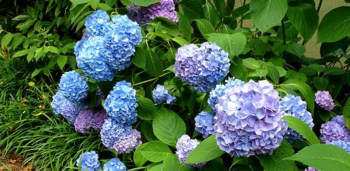 How To Grow Hydrangeas Today S Homeowner