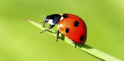 How To Deal With Ladybug Infestation Today S Homeowner