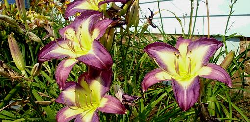 How To Grow Daylilies Today S Homeowner