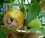 How to Treat and Prevent Blossom-End Rot