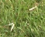 cigarette butts in the grass