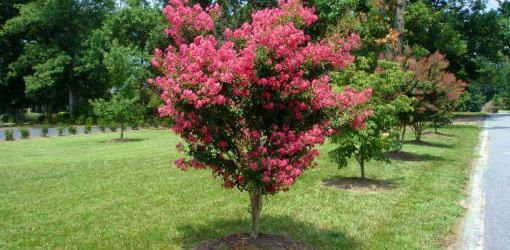How To Plant Balled And Burlapped Trees And Shrubs