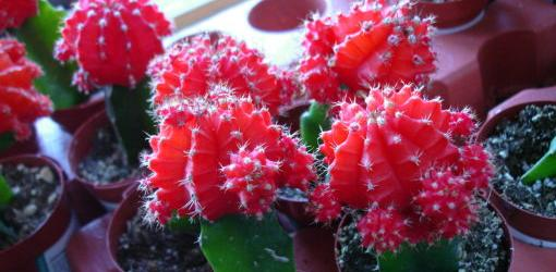 How To Encourage Cactus To Bloom Today S Homeowner