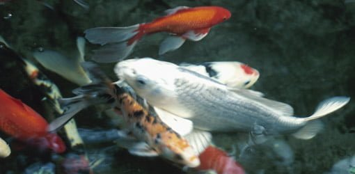How to keep koi fish in a pond during freezing weather for Keeping koi carp in a pond