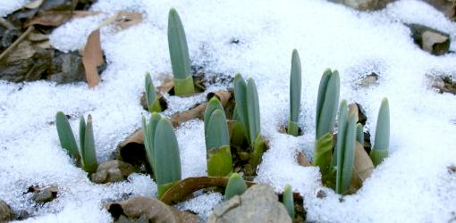 Bulbs emerging from snow