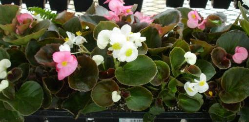 How To Grow Different Varieties of Begonias