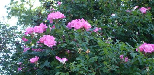 How to Grow Knock Out Roses | Today's Homeowner