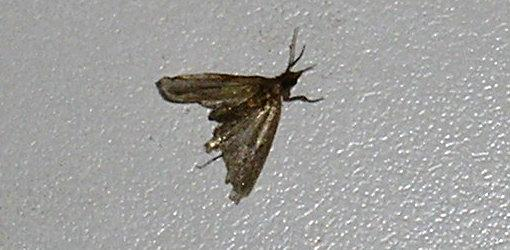 Exceptionnel Photo Of Pantry Moth (Indian Meal Moth).