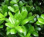 How to Prevent Holly Leaf Spot