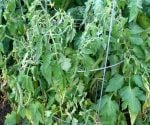 Bacterial Wilt in Tomato Plants