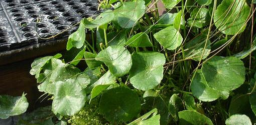 How To Control Dollarweed Pennywort In Your Lawn Today