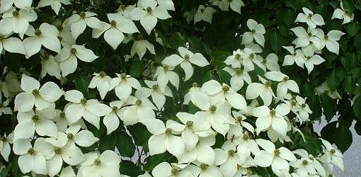How To Grow Japanese Kousa Dogwoods In Your Yard Today S