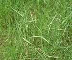 How to Control Torpedo Grass in Your Lawn