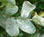 How to Control Powdery Mildew in Your Yard