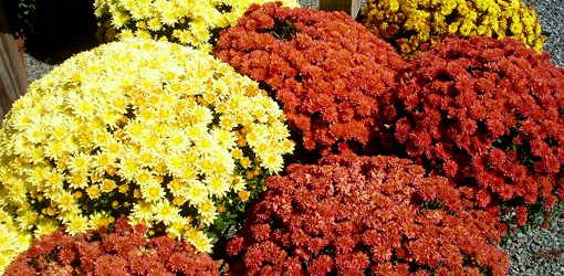 Yellow and red flowering mums.