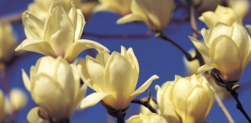 How To Grow Magnolias In Your Yard Todays Homeowner
