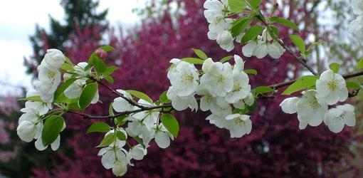 American sweet crabapple tree