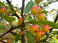 Small apples on crabapple tree