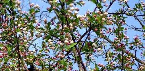 Crabapple buds opening in spring