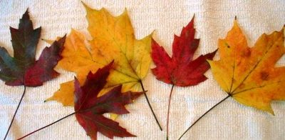 Fall leaves preserved with glycerin