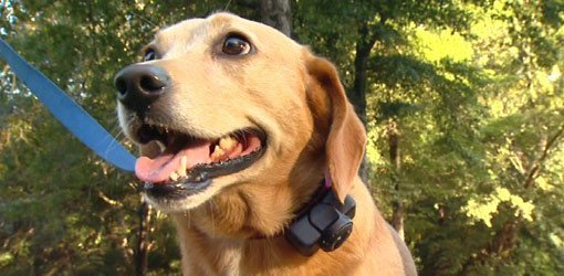 Dog with electronic containment collar