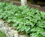 Hosta plants growing next to a house
