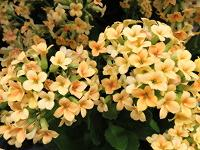 How to Grow Flowering Kalanchoe | Today's Homeowner