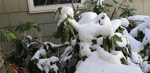 Broadleaf evergreens can dry out in winter
