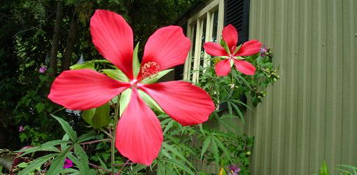 Swamp hibiscus red flowers in full bloom