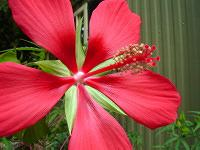 Swamp Hibiscus flower