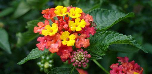 How To Grow Lantana In Your Garden Todays Homeowner
