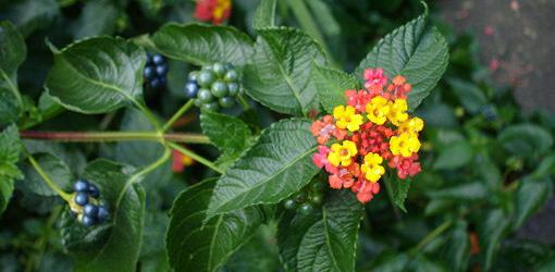 Lantana bloom with berries