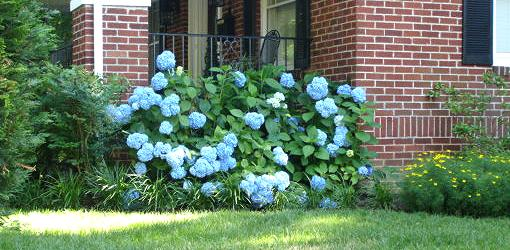 Blue hydrangea in yard next to house.