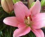 Pink lily flowers in bloom