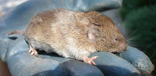 How To Deal With Voles Field Mice In Your Yard Or Garden