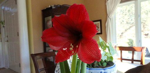 Red amaryllis flower in bloom