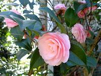 Pink camellia blossoms